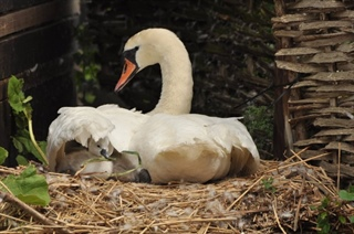 Baby Swans Hatching at the Abbotsbury Swannery