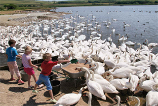 Baby Swans Hatching at Abbotsbury Swannery Next Month
